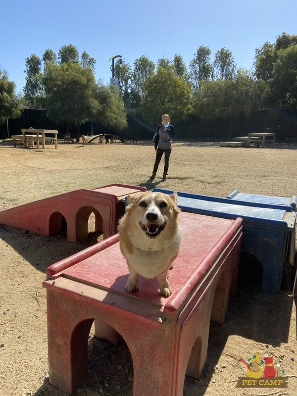 Corgi smiling and employee