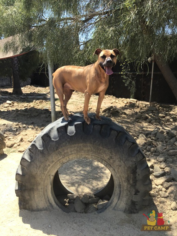 dog on wheel
