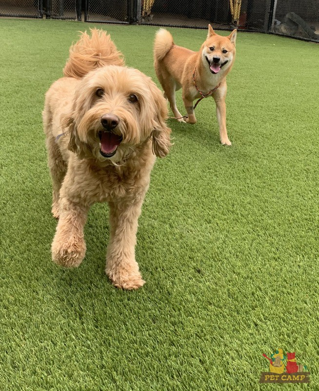 happy dogs in the Meadow