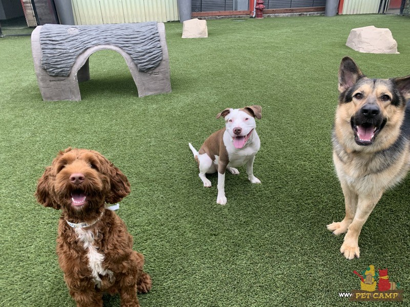 happy dogs at Pet Camp